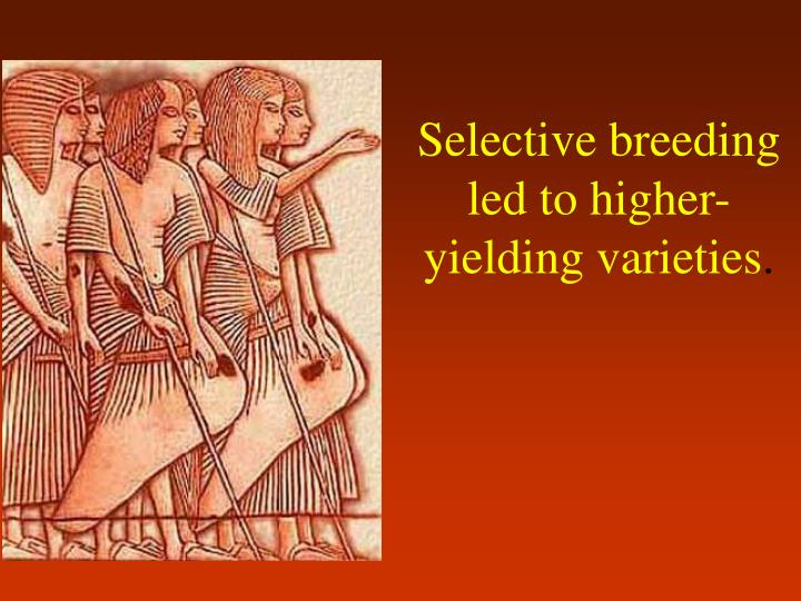 Selective breeding led to higher yielding varieties