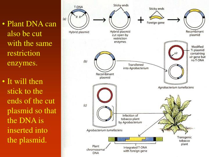 Plant DNA can also be cut with the same restriction enzymes.
