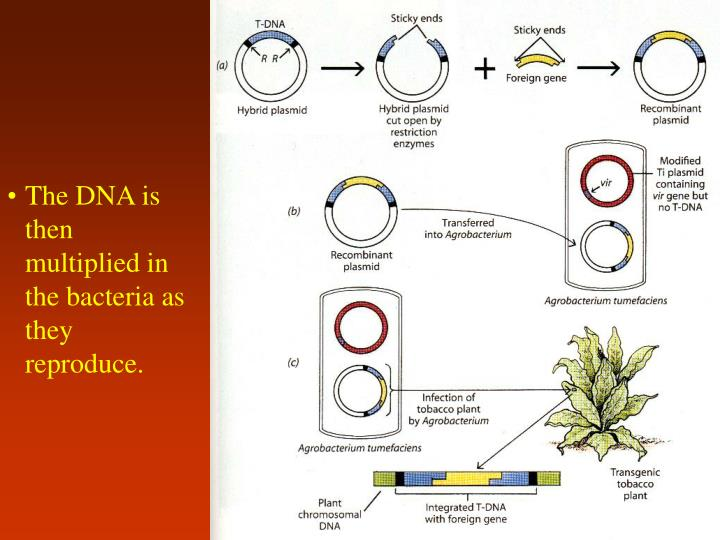 The DNA is then multiplied in the bacteria as they reproduce.