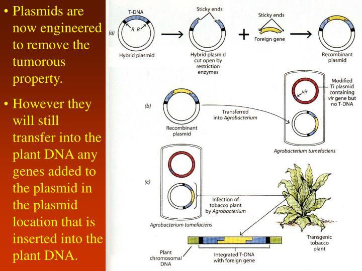 Plasmids are now engineered to remove the tumorous property.