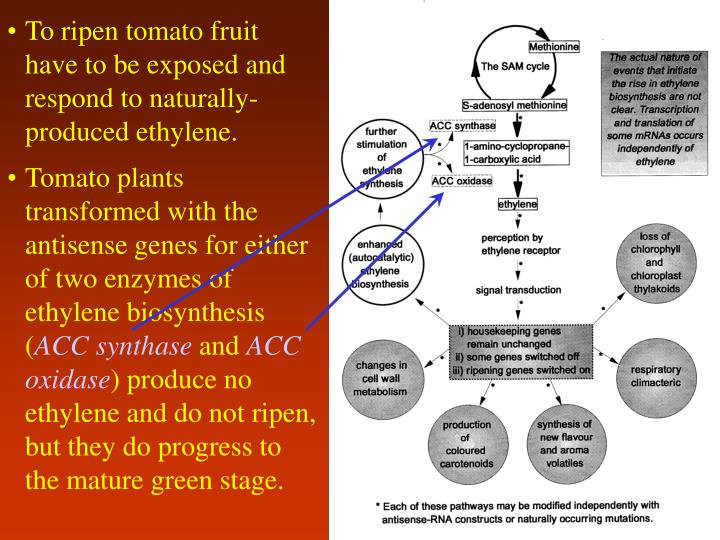 To ripen tomato fruit have to be exposed and respond to naturally-produced ethylene.