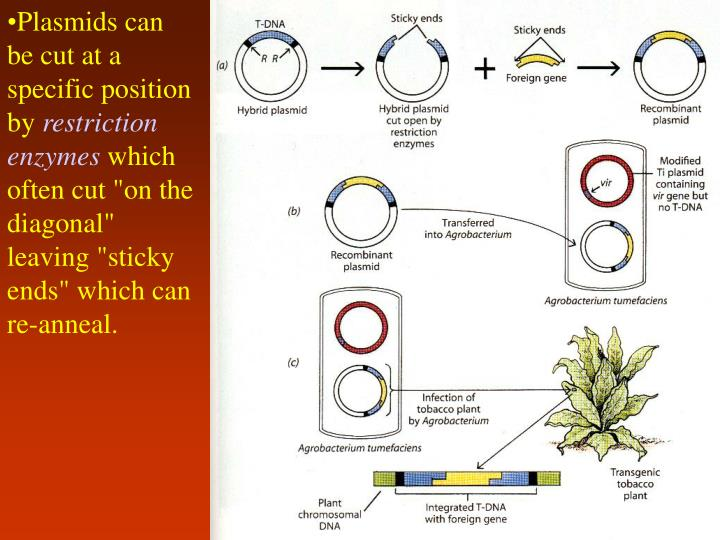 Plasmids can be cut at a specific position by