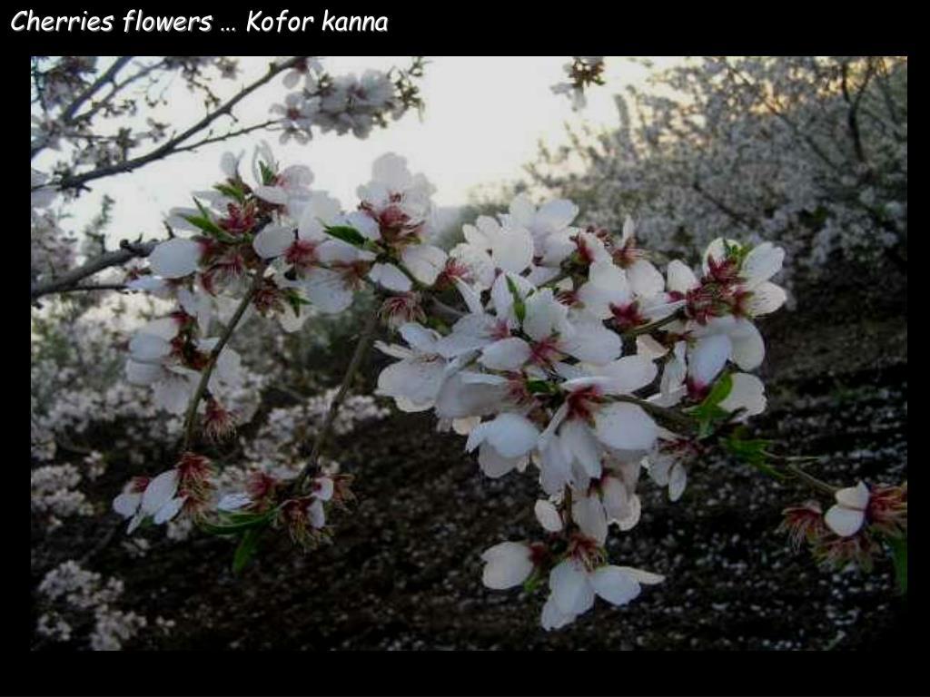 Cherries flowers … Kofor kanna