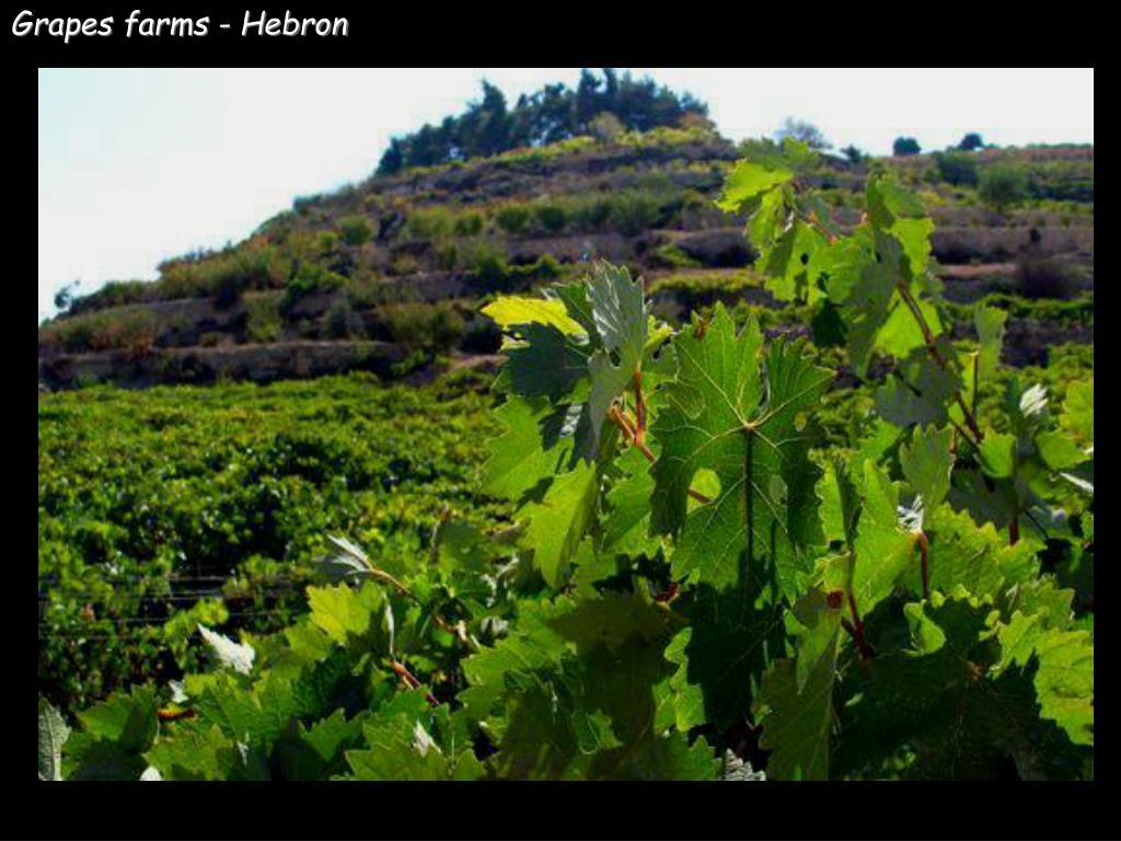 Grapes farms - Hebron