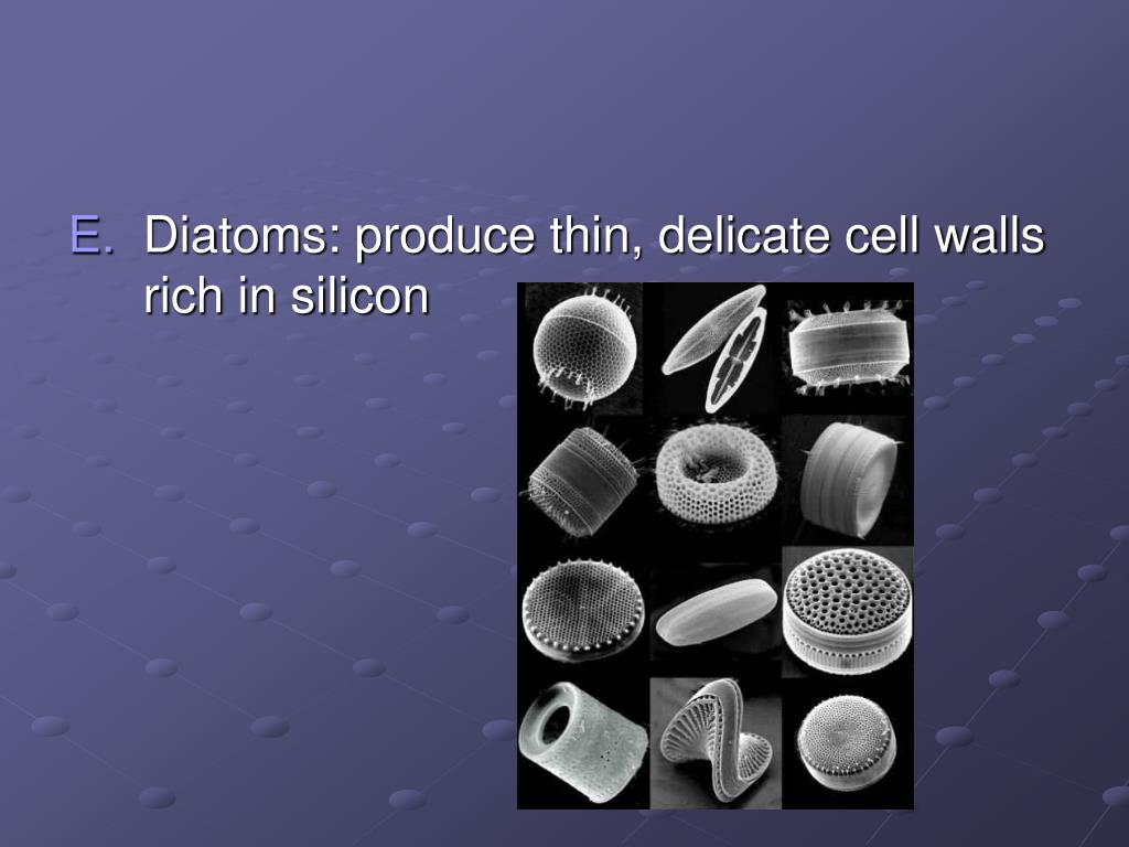 Diatoms: produce thin, delicate cell walls rich in silicon
