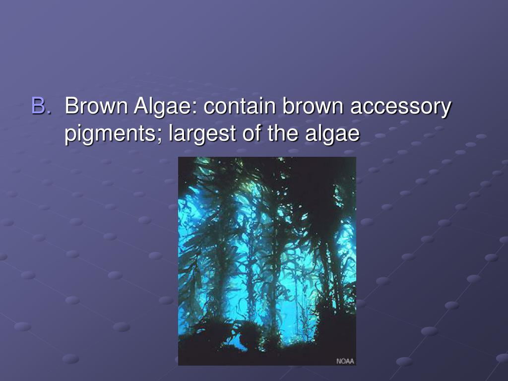 Brown Algae: contain brown accessory pigments; largest of the algae