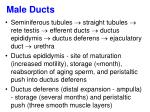 male ducts