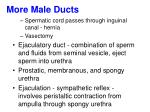 more male ducts