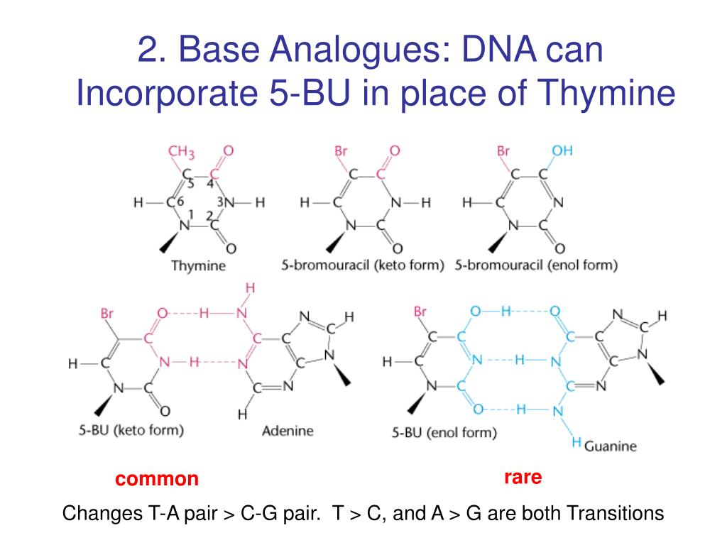 2. Base Analogues: DNA can