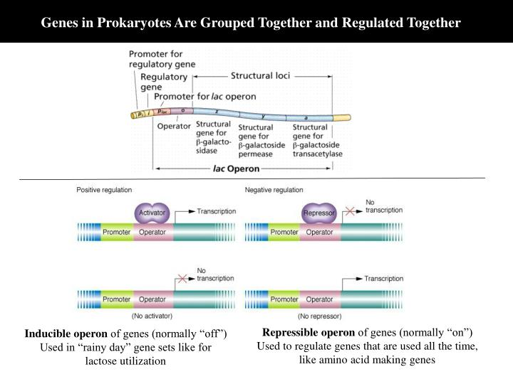 Genes in Prokaryotes Are Grouped Together and Regulated Together