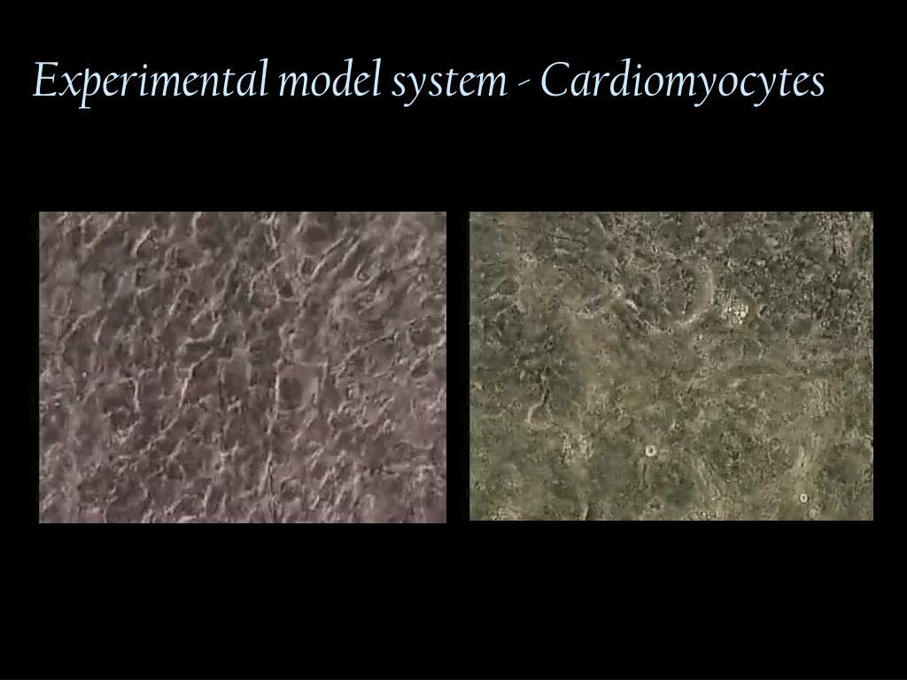 Experimental model system - Cardiomyocytes