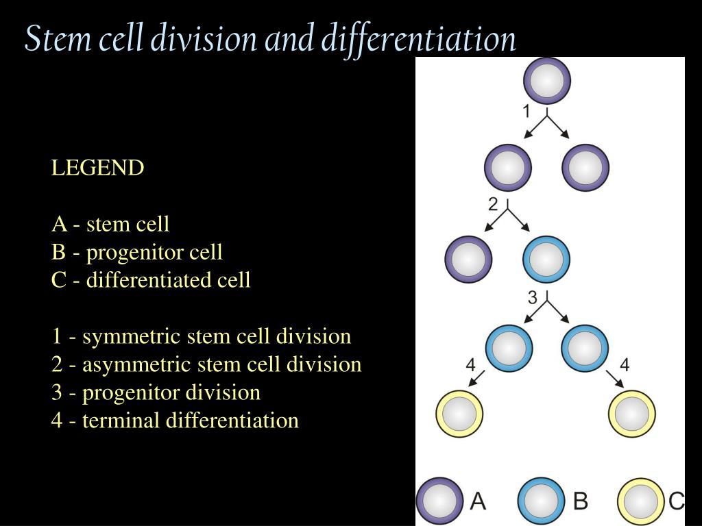 Stem cell division and differentiation