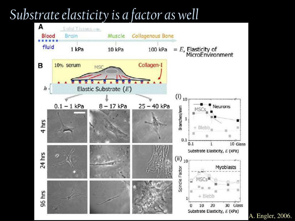 Substrate elasticity is a factor as well