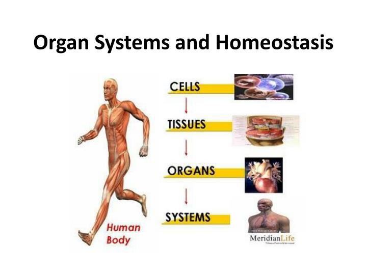 Ppt Organ Systems And Homeostasis Powerpoint Presentation Id245222