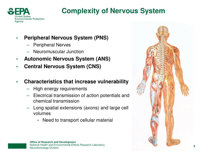 Complexity of nervous system