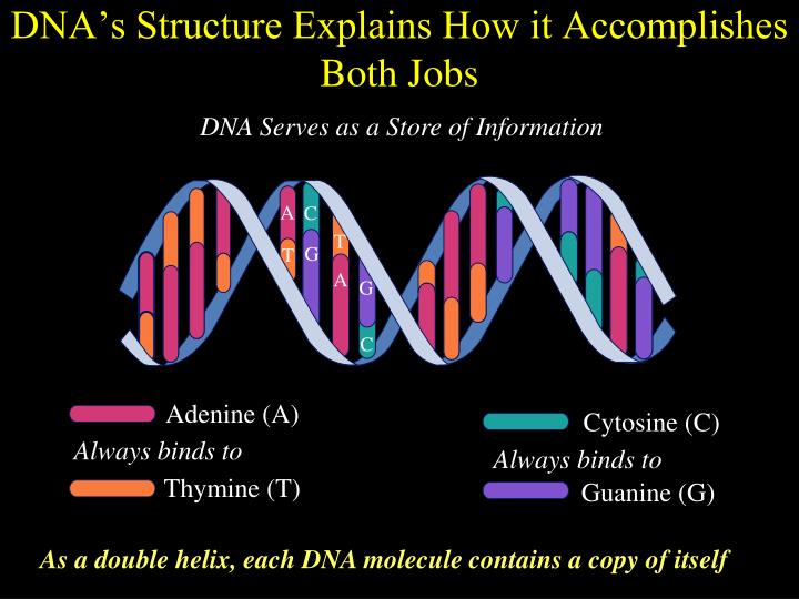Dna s structure explains how it accomplishes both jobs