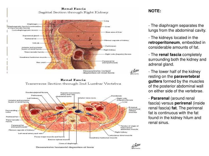 Ppt Renal Anatomy Histology Correlate Powerpoint Presentation Id