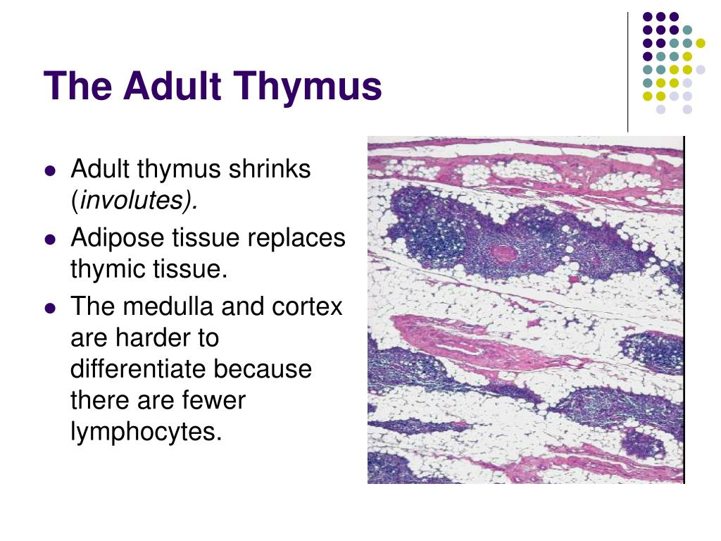 The Adult Thymus