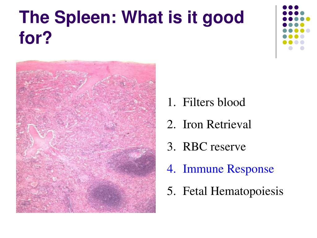 The Spleen: What is it good for?