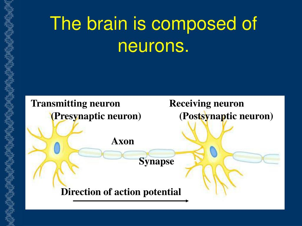 The brain is composed of neurons.