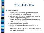 white tailed deer7