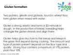 gluten formation