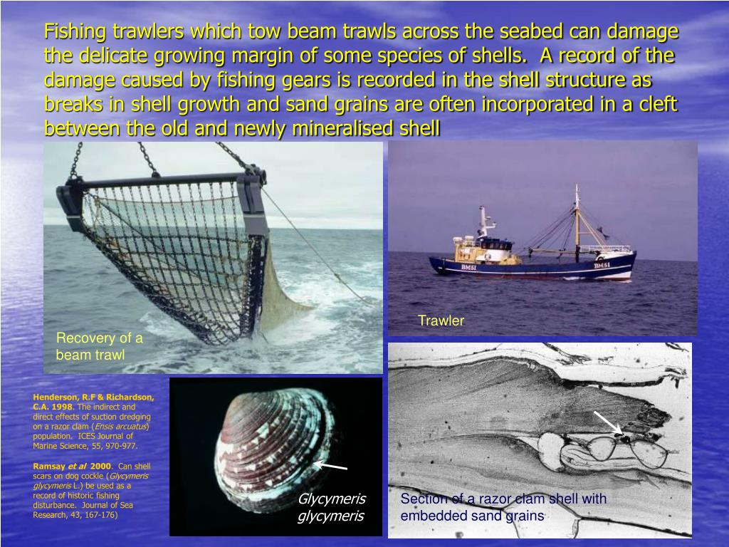 Fishing trawlers which tow beam trawls across the seabed can damage the delicate growing margin of some species of shells.  A record of the damage caused by fishing gears is recorded in the shell structure as breaks in shell growth and sand grains are often incorporated in a cleft between the old and newly mineralised shell