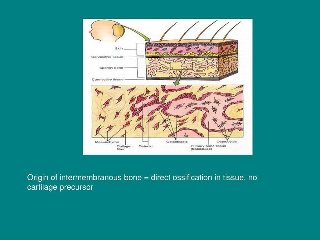 Origin of intermembranous bone = direct ossification in tissue, no cartilage precursor