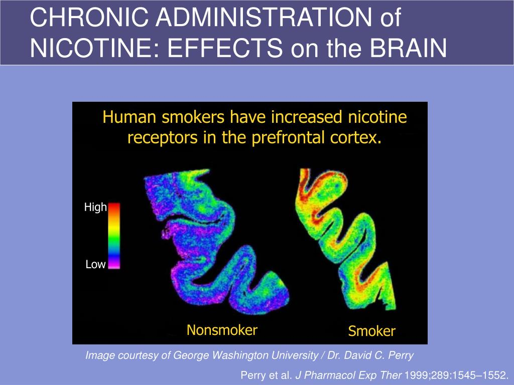Human smokers have increased nicotine receptors in the prefrontal cortex.