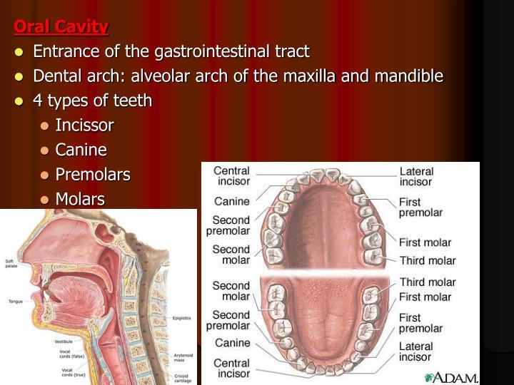 Ppt Dental Anatomy Powerpoint Presentation Id249764