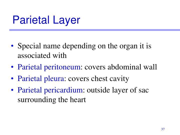 Parietal Layer