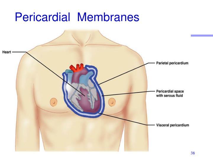 Pericardial  Membranes