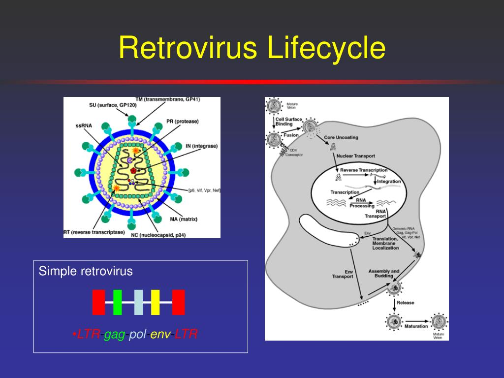 Retrovirus Lifecycle