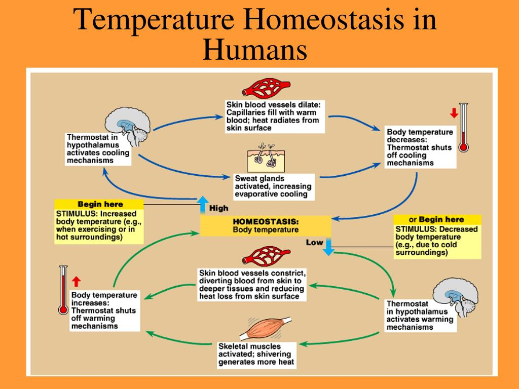 Temperature Homeostasis in Humans