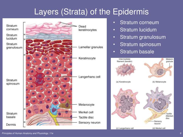 Layers (Strata) of the Epidermis