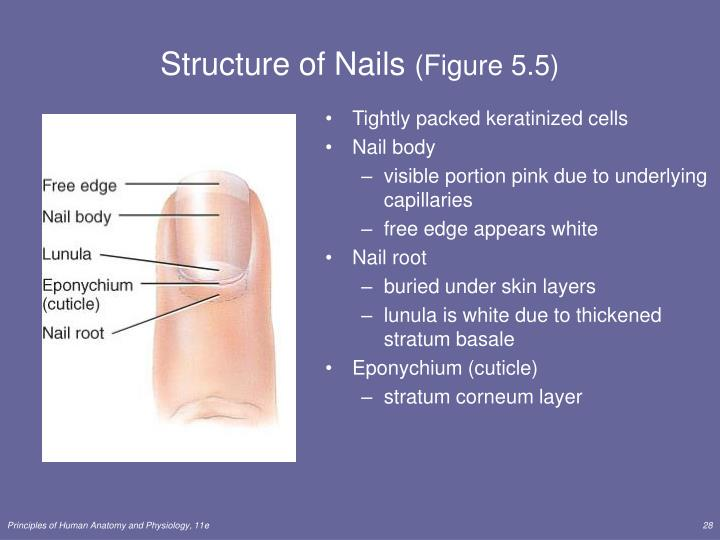 Structure of Nails