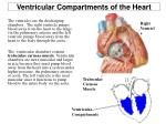ventricular compartments of the heart