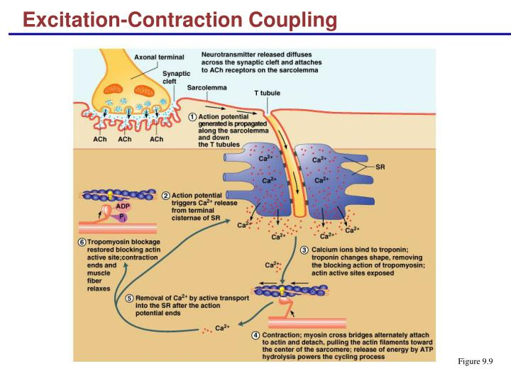 Excitation contraction coupling2