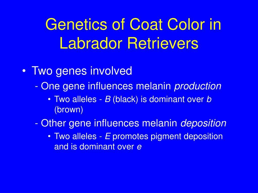 Genetics of Coat Color in Labrador Retrievers