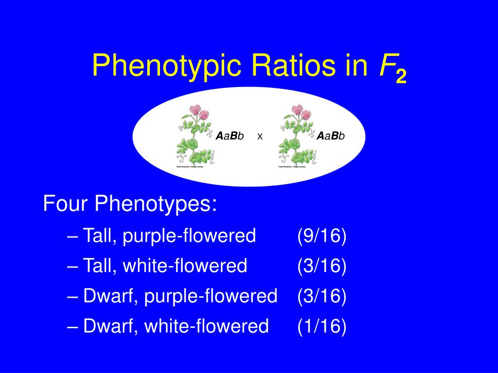 Phenotypic Ratios in