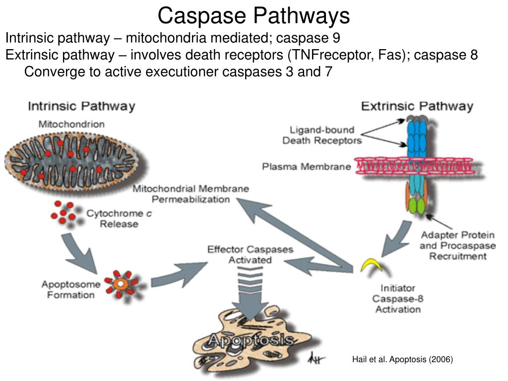 Caspase Pathways