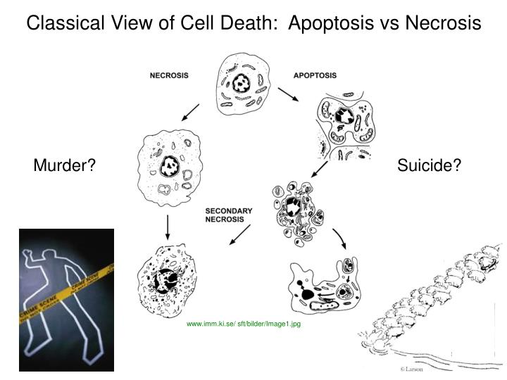 Classical View of Cell Death:  Apoptosis vs Necrosis