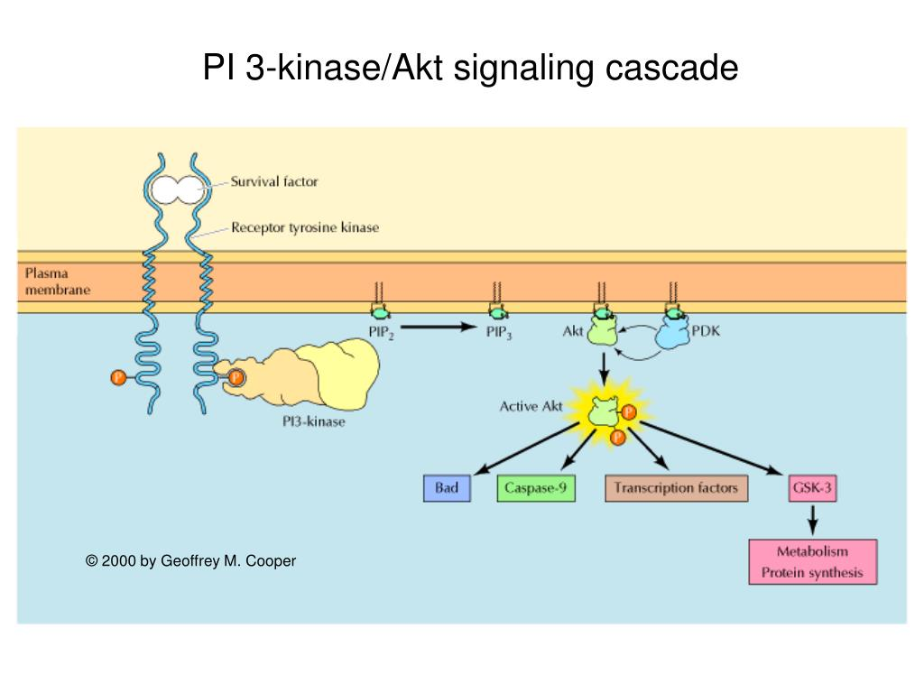 PI 3-kinase/Akt signaling cascade