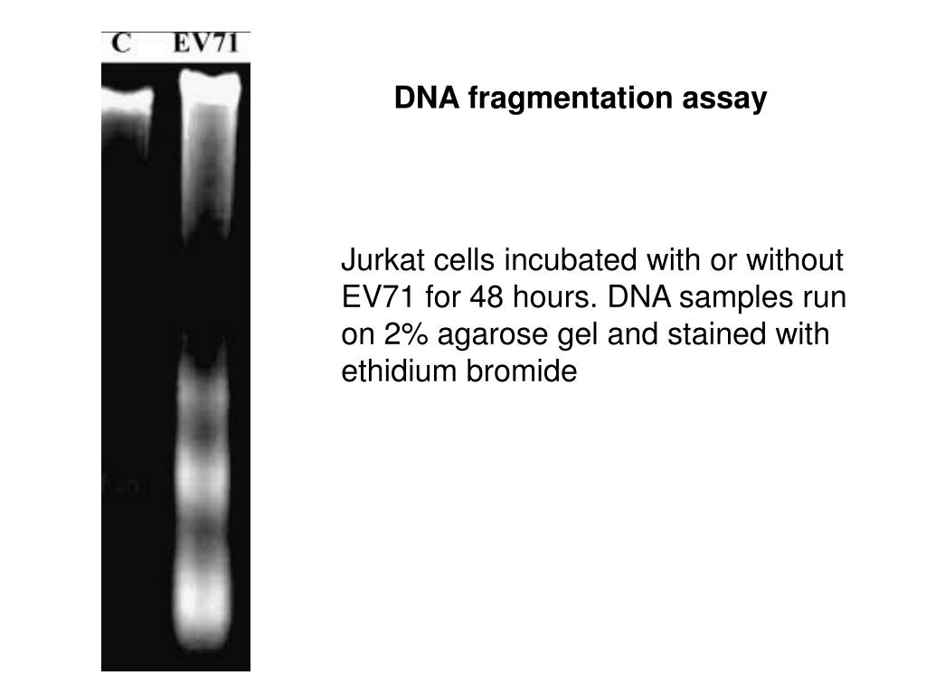 DNA fragmentation assay