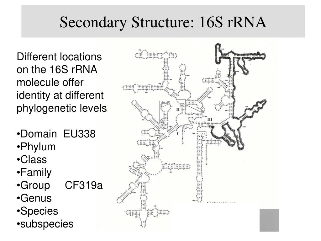 Secondary Structure: 16S rRNA