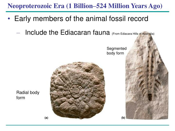 an introduction to ediacaran fauna in australia The world's first ever burrowing animals evolved in the ediacaran, though we don 't know what they looked like  this period gets its name from the ediacara hills  in australia, where famous fossils of this age were found  1 next introduction.