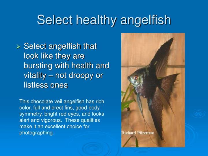 Select healthy angelfish