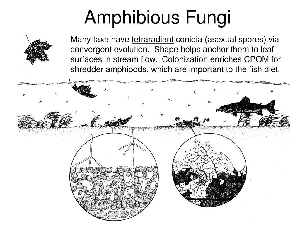 Amphibious Fungi