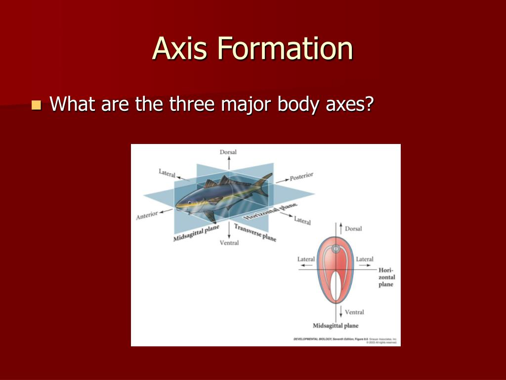 Axis Formation
