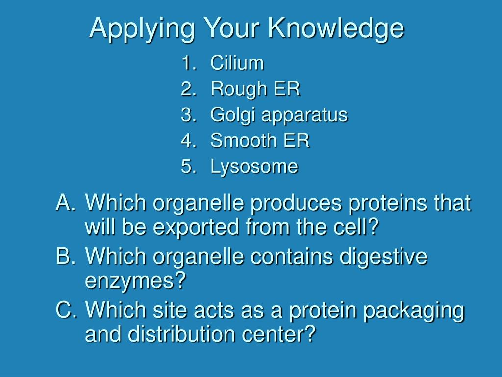 Which organelle produces proteins that will be exported from the cell?